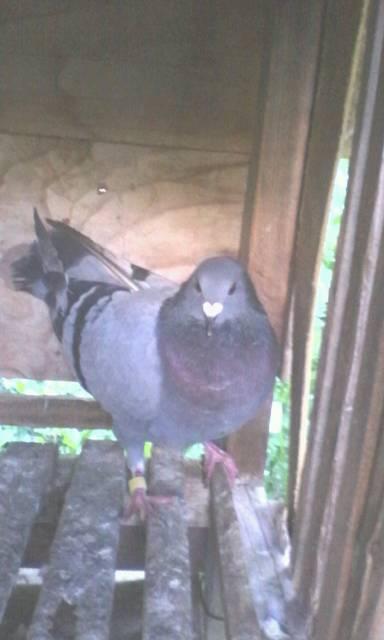 看鸽子的公母图片