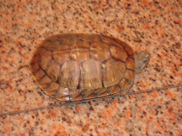 我养的水龟,它冬眠时,盆里是否放水 放多少合适 如不放水,可不可