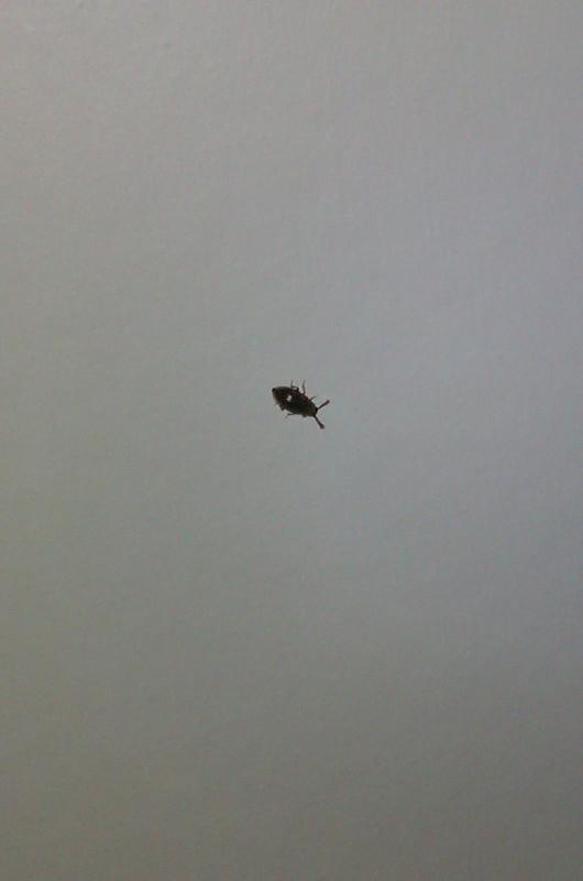 求助,最近家里有黑色的小虫子(附图) 会飞,但飞不快,有甲壳,有什么图片