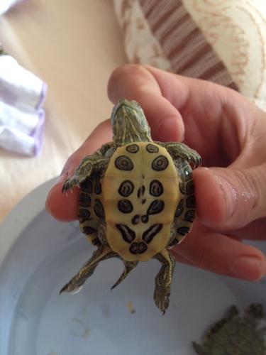小巴西龟怎么分公母图片
