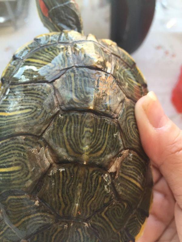 乌龟的背变成这样子是正常的脱皮吗