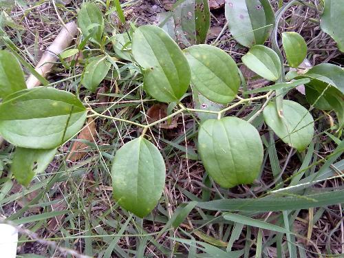 寻找像金刚藤的植物 样子与图片差不多 不过那种植物叶子比这个长 是