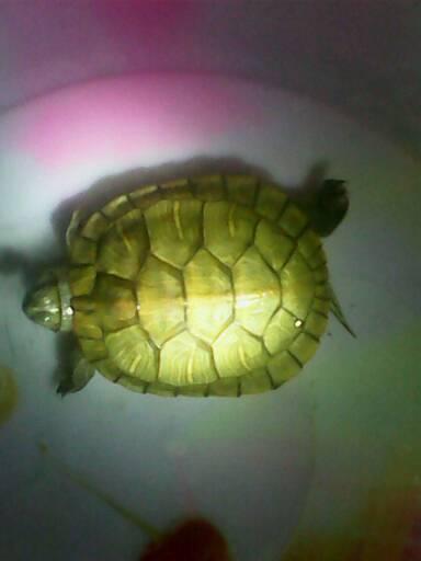 本人养了一只乌龟,夏天买的,两三个月了,一 只挺好,基本的喂养常