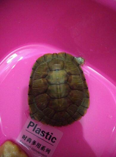 小乌龟的脚是怎么啦,这种龟需不需要冬眠