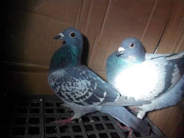 母鸽子爬到公鸽子身上踩蛋是怎么回事,母鸽子会下蛋吗图片