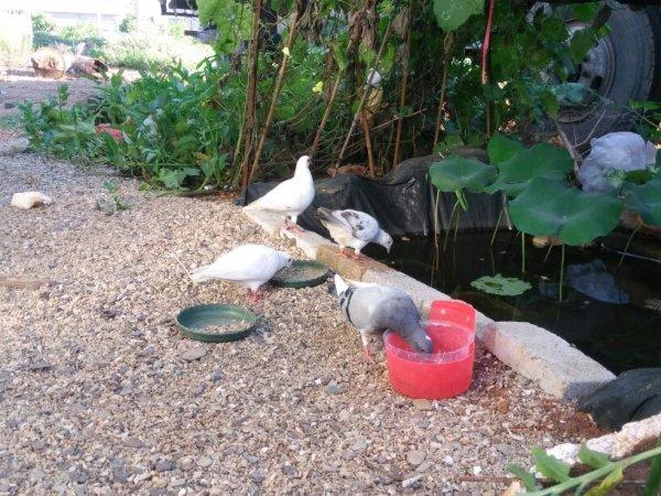 场买回来了四只鸽子,也分不清哪个是公哪个是母,发现有一只鸽子图片